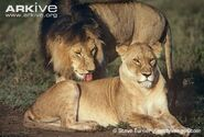 Male and Female Masai Lions