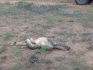 Python Eating Antelope