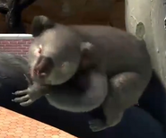 Queensland-koala-zootycoon3