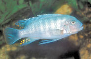 RedZebra(male)WFCiaf Ap18BM