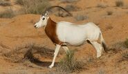 Scimitar horned oryx walking