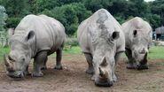 Three Southern White Rhinos
