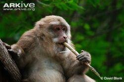 Tibetan-macaque-feeding-on-bamboo.jpg