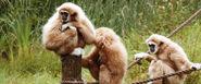 Vithandad gibbon 086 1280 top desktop