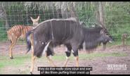 Werribee Open Range Zoo Nyala