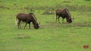 Alabama Safari Park Wildebeests