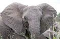 Angry elephant ears tuskless