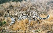 Central Asian leopard