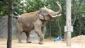 Cincinnati Zoo Elephant (V2)
