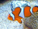 Finding Nemo (NatureRules1 Remake; Live Action Version)