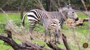 Dallas Zoo Mountain Zebras