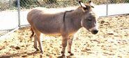 Domestic donkey (Equus africanus asinus)