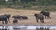 Elephants and Hippopotamuses
