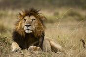 Lion Masai Mara Kenya photographic safari 3434