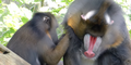 Memphis Zoo Mandrills