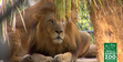 Naples Zoo Lion