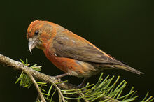 Red-crossbill-gregg-t-640.jpg