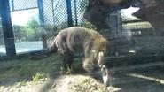 Rolling Hills Zoo Coati