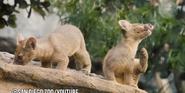 San Diego Zoo Fossas