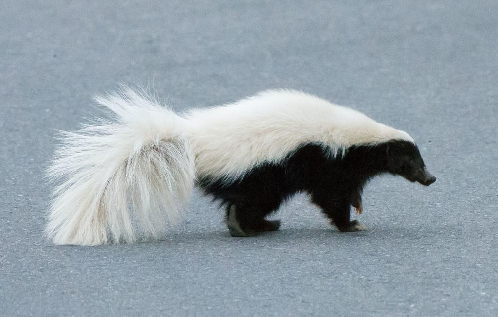 American Hog-Nosed Skunk