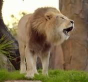 TMODAK Lion