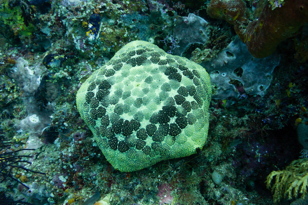 Cushion Starfish