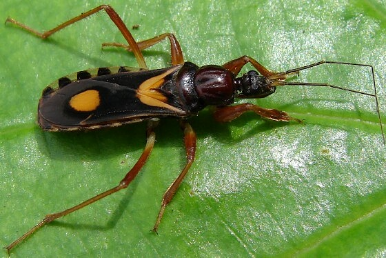 Assassin Bug