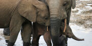 Elephant-Picture-In-High-Quality-wc10011062