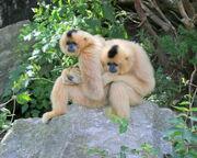 Gibbon, yellow-cheeked.jpg