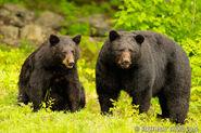 Male and Female Black Bears