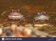 Male and female common frogs