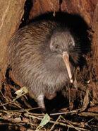 North Island Brown Kiwi
