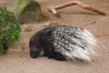 Porcupine, crested.jpg