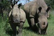 Rhino Is A Mammal