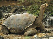 Tortoise, Galapagos.jpg