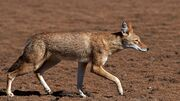 Wolf, Ethiopian.jpg