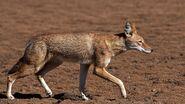 Wolf, Ethiopian