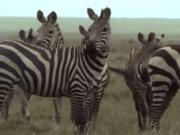 Amazing-animals-activity-center-zebra.png