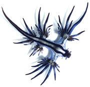 Blue Sea Slug.jpg