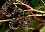 Boa, Amazon Tree.jpg