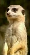 Canberra Zoo Meerkat