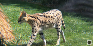 Canberra Zoo Serval