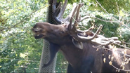 Columbus Zoo Male Moose