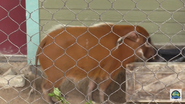 Columbus Zoo River Hog V2