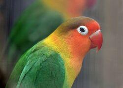 Fischer's Lovebird.jpg