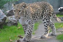 Leopard, Persian.jpg