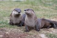 Male and Female River Otters