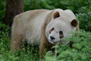 Qinling-panda.png