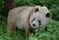 Qinling-panda
