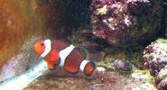 Real-life Nemo